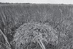 Гнездо серого журавля