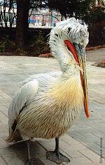 Кудрявый пеликан