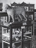 Фрагмент экспозиции Симбирского естественно-исторического музея. Фото начала XX века